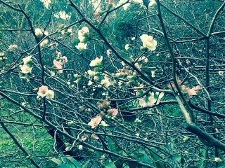 myphoto 2014 cherryblossoms interesting sakura