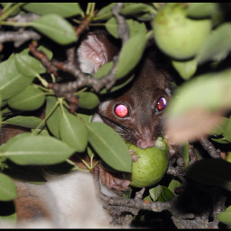 possum australianwildlife australiannative inmybackyard cute