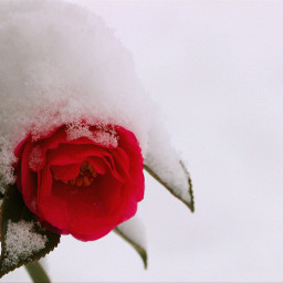 nature flower snow