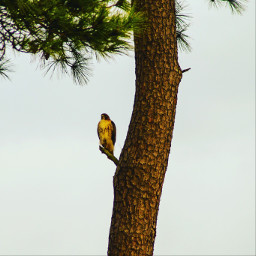 hawk birds wildlife tree naturephotography