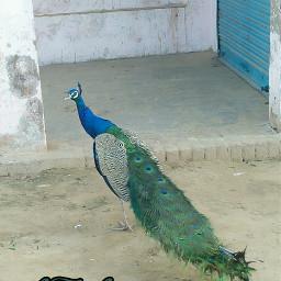 freetoedit nature naturephotography naturel peacock